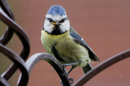 Blue Tit With Bug
