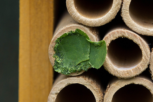 Leaf Cutter Bee Nest