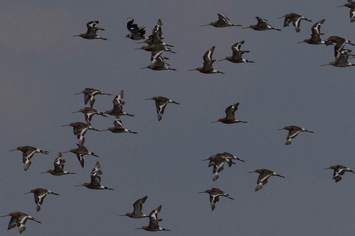 Black Tailed Godwits Flying