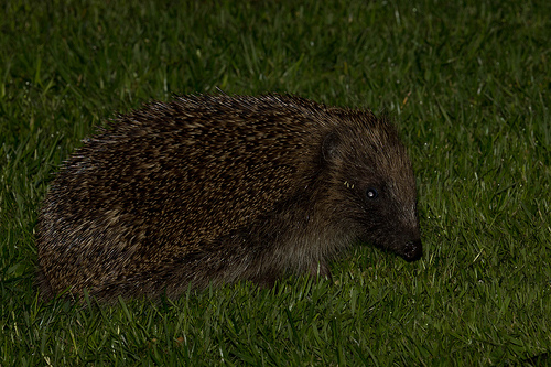 Hedgehog in Lawn
