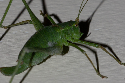 Speckled Bush Cricket (Detail)