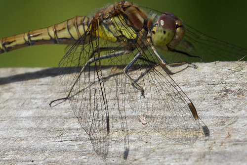 Common Darter - Wing Details