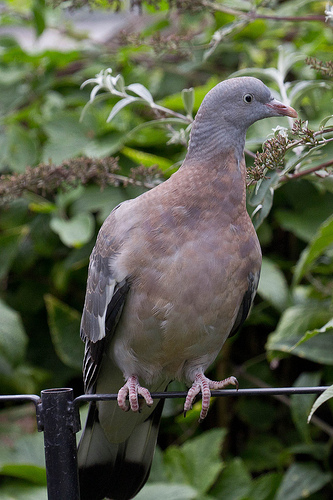 Young Woodpigeon