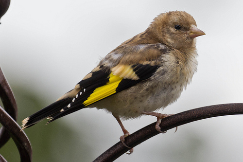 Fledgling Goldfinch