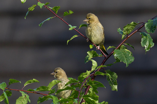 Fledgling Greenfinch