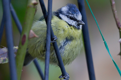 Fat Blue Tit