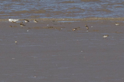 Little Stint and Curlew Sandpiper