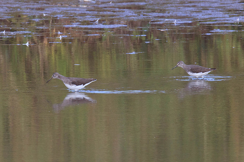 Green Sandpipers