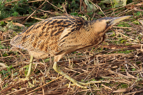 Bittern in Full View