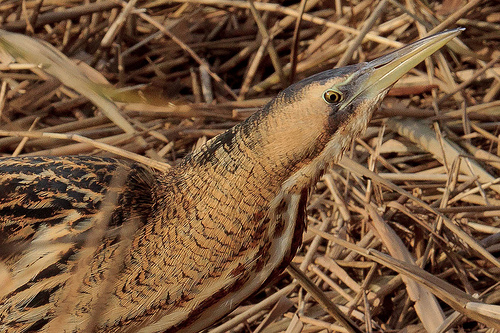 Bittern Close Up