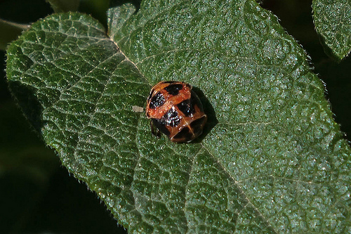 Ladybird Pupating