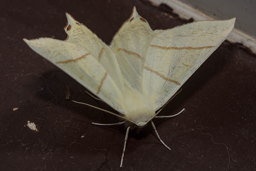 Swallow Tailed Moth