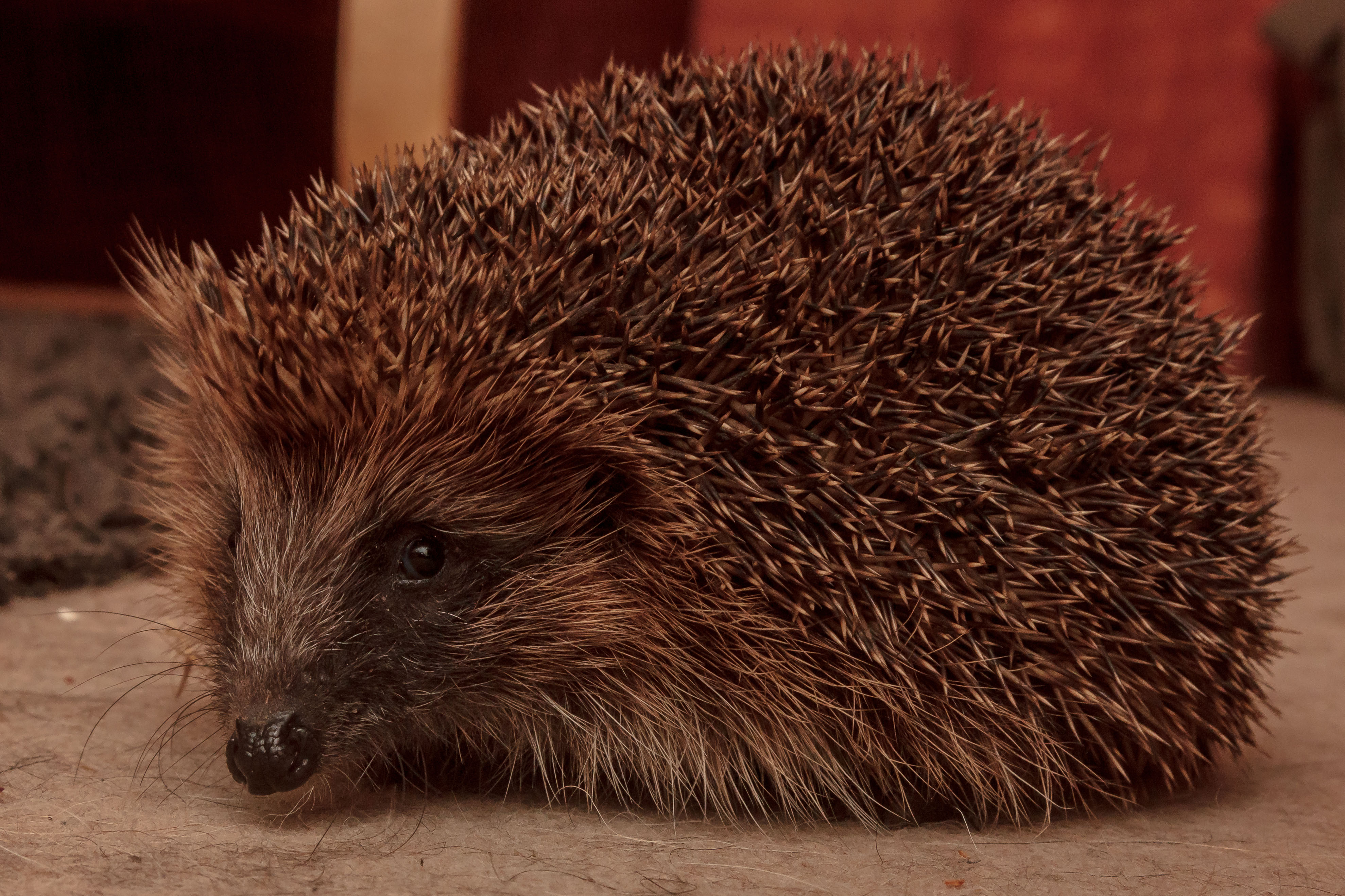 Meet The Hedgehogs Of BBC Autumnwatch | The Lilac Grove
