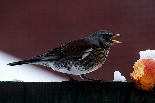 Fieldfare and Apple