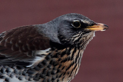 Fieldfare Head